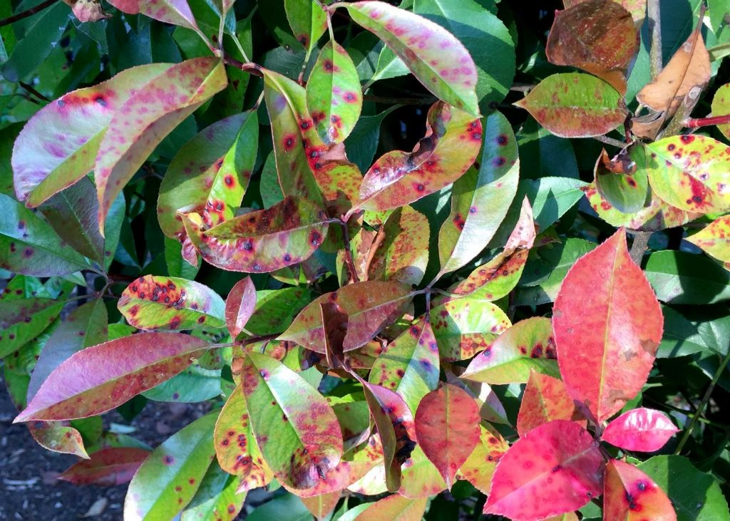 photinia leaf spots