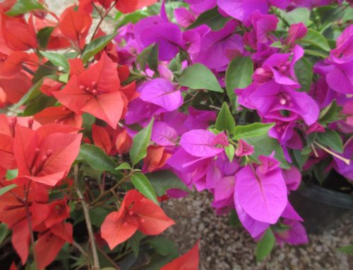 Bougainvillea Madness