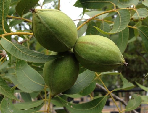 Pecan Tips for Late August and Early September