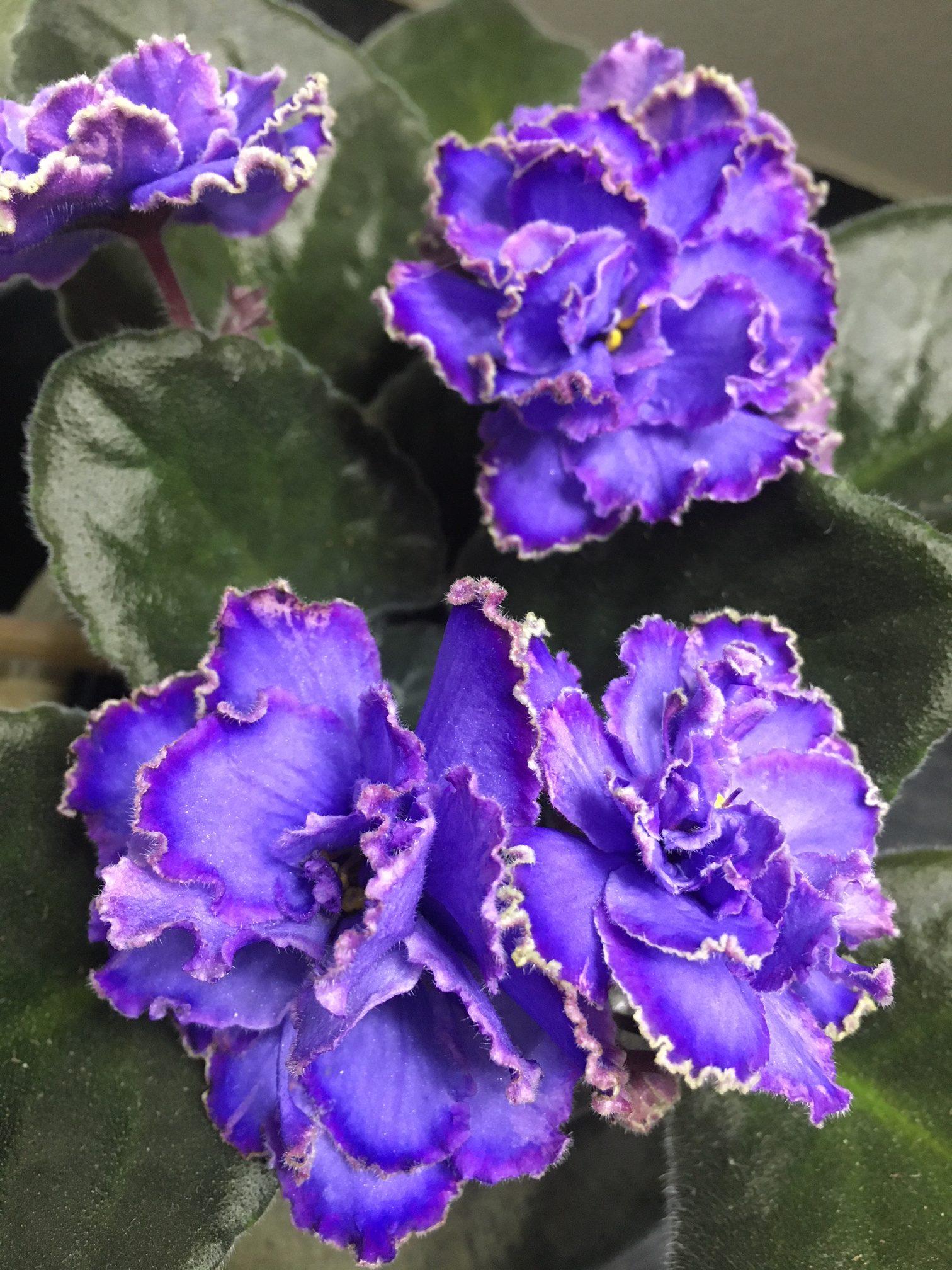 African Violet Image