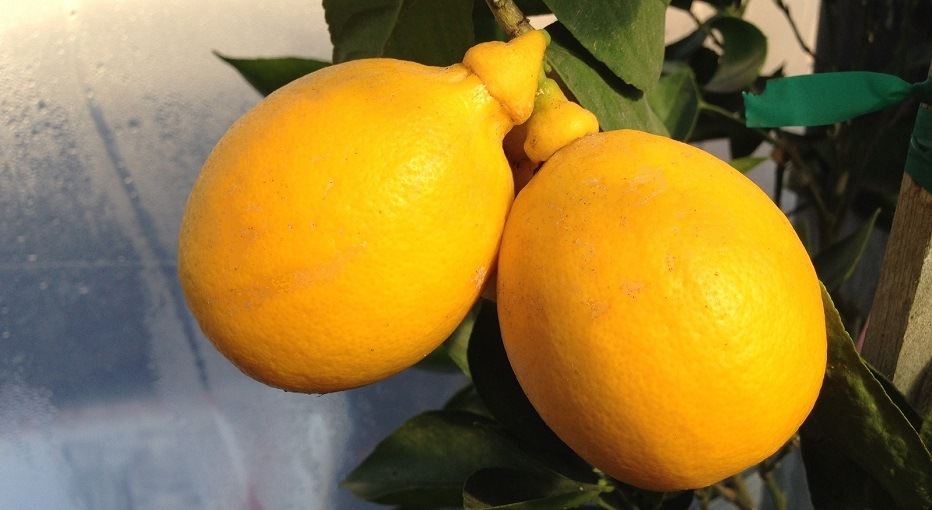 citrus insects and disease