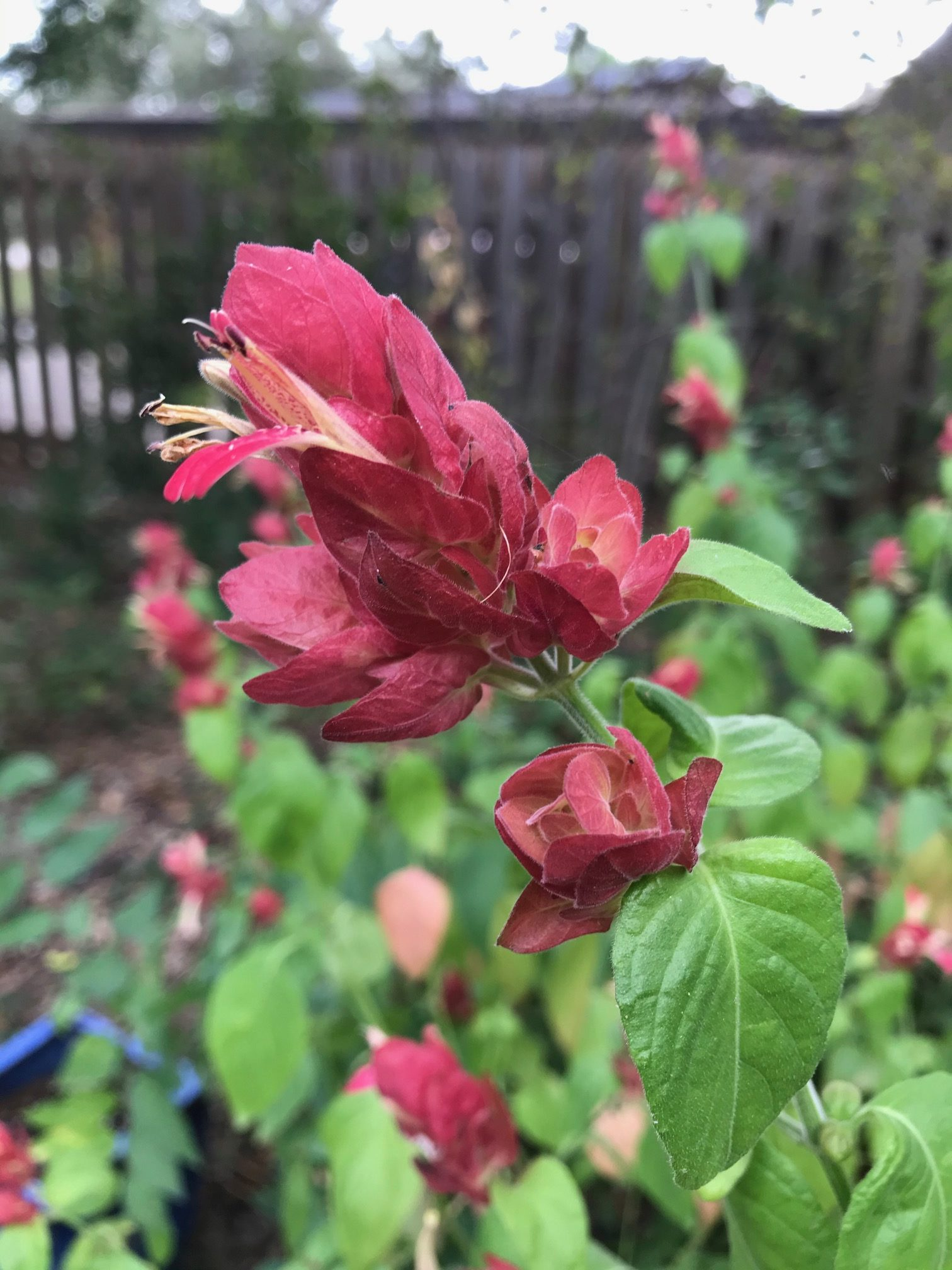 Shrimp Plant, Red Image