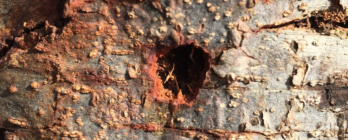 Borers in Shade Trees